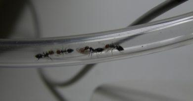 Transport d'un oeuf par une fourmis