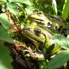 Deux grenouilles vertes qui s'acoquinent...
