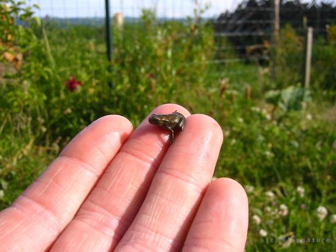 Jeune grenouille