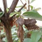 Un papillon sphynx