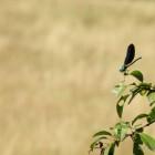 "Une libellule ""demoiselle"" (calopteryx)"
