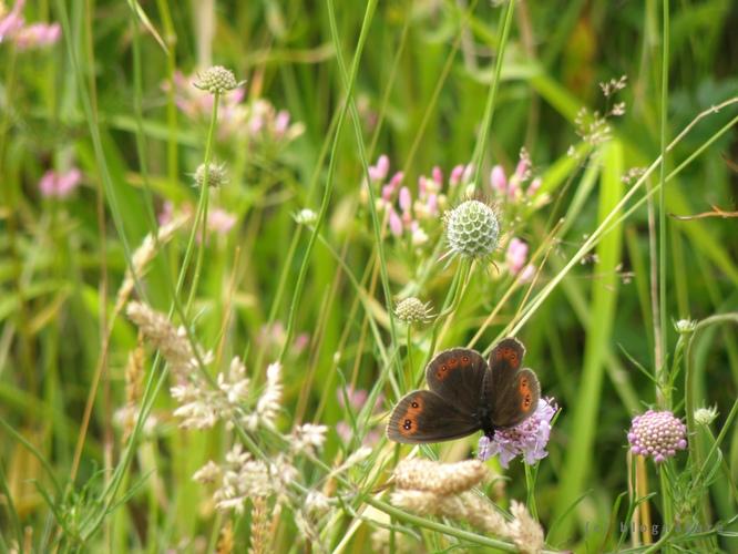 Papillon Moiré