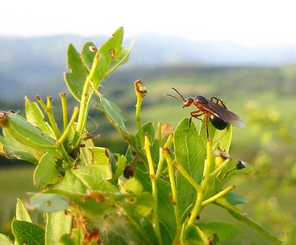 Envol d'une reine fourmis