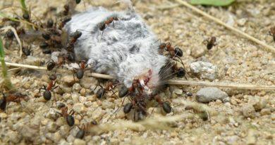 Repas de fourmis : un rongeur mort
