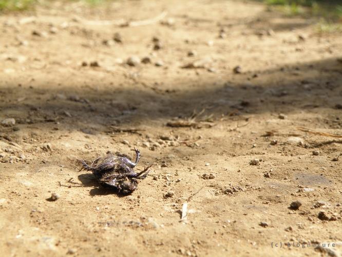 Feu scarabé