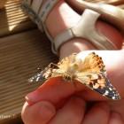 Elevage de papillons
