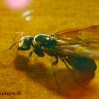 Reine fourmis encore ailée
