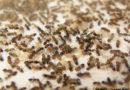 Faire un élevage de fourmis – Partie 1/2