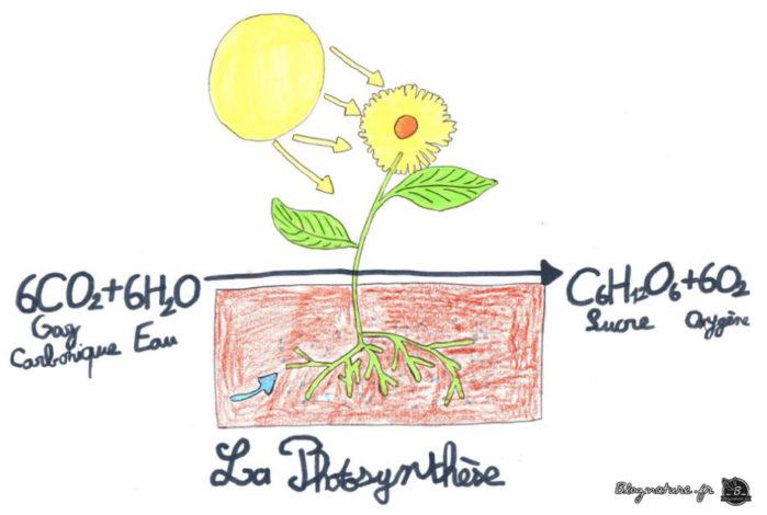 photosynthèse